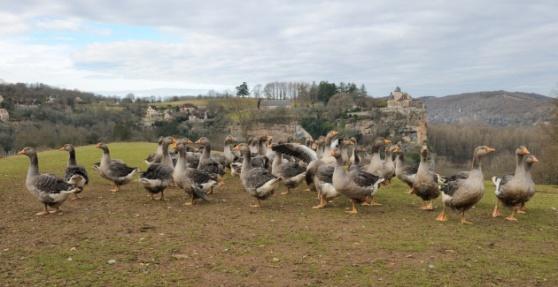 Good foie gras farms allow the ducks and geese free range.