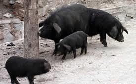 Semi-wild black pigs are the basis for Yunnan cured ham.